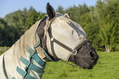 Horse with a blanket and a mask against the flies Royalty Free Stock Photo