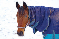 Horse with blanket Stock Photo
