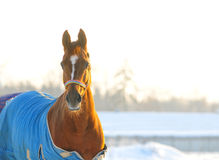 Horse in blanket winter portrait Royalty Free Stock Images