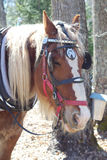 Horse blinkers portrait close up at the farm. Farm horse portrait with blinkers red muzzle Stock Photography