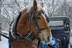 Horse in blizzard Stock Image