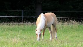 Horse blond Haflinger grazing on meadow stock video