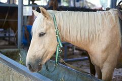 Horse with blond hair in Stable Stock Photos