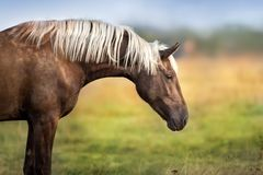 Horse with long mane royalty free stock photo