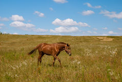 Horse on a blossoming field, Ukraine. Horse goes by a blossoming field, Ukraine Stock Photos