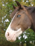 Horse With Blue Eye Royalty Free Stock Photography