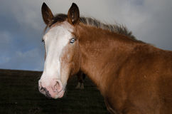 Horse blue eyes stock images