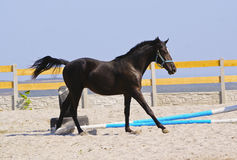 Horse in a blue halter run on the sand in the paddock Stock Photos