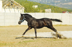 Horse in a blue halter runs on the sand in the paddock. Black horse in a blue halter runs on the sand in the paddock Stock Images