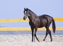 Horse in a blue halter walk on the sand in the paddock Stock Photo