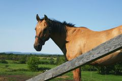 Horse in a blue sky. Beautiful brown horse in a blue sky Royalty Free Stock Photos