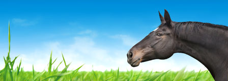 Horse on blue sky and green grass, banner Royalty Free Stock Photography