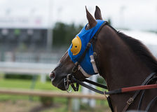 Horse with Blue and Yellow Blinkers. And leather bridle Stock Image