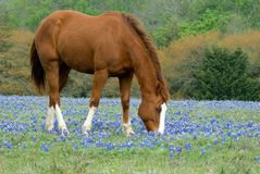Horse and Bluebonnets Stock Photo