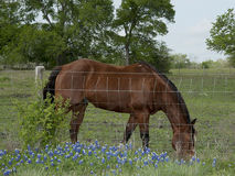 Horse and Bluebonnets. Horse grazing in field of bluebonnets behind fence Royalty Free Stock Image