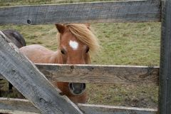 Horse Boards. A little horse looking through the gate boards Royalty Free Stock Photography