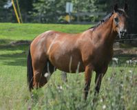 Horse Bodyshot. Picture of a bay quarter horse horse Royalty Free Stock Photo