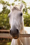 Horse. Is bored from doing nothing Royalty Free Stock Image
