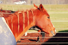 Horse With Braided Mane Stock Images
