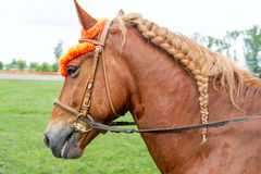 Horse with a braided mane Stock Image