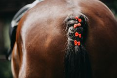 Horse with a braided tail participating in showjumping. A dark brown horse with red ribbons in its tail during a showjumping competition stock images
