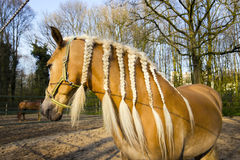Horse with braids against spring background Royalty Free Stock Photos