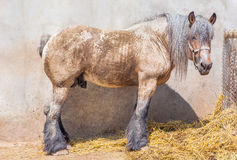 Horse with braids Royalty Free Stock Photos
