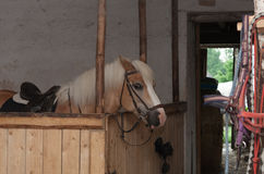Horse breed Haflinger, stallion with saddle standing in stable.  stock image
