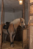 Horse breed Haflinger, stallion with saddle standing in stable.  stock photos