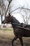 Horse breed Russian trotter runs Stock Photos