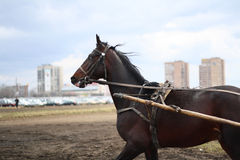 horse breed Russian trotter runs during a training session at the racetrack Stock Photo