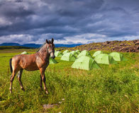 Horse breed is about summer camp Stock Photos