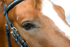 Horse is bridle Stock Photos