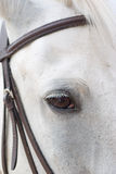 Horse is bridle Royalty Free Stock Photo