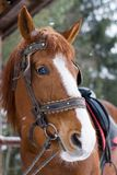 Horse with bridle. Horse head with bridle closeup on winter day Stock Image