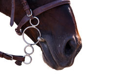 Horse in bridle close isolated on black. Royalty Free Stock Photos