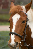 Horse bridle Royalty Free Stock Image