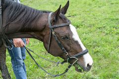 Horse in bridle eating grass Royalty Free Stock Image