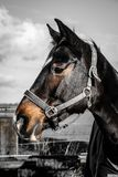 Horse, Bridle, Halter, Horse Tack Royalty Free Stock Photos