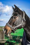 Horse, Bridle, Halter, Horse Tack Royalty Free Stock Image