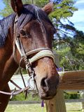 Horse, Bridle, Halter, Horse Tack Stock Image