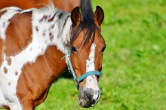 Horse, Bridle, Halter, Horse Tack Royalty Free Stock Photos