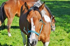 Horse, Bridle, Halter, Horse Tack Stock Photography