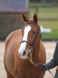 Horse In Bridle Headshot Stock Image