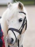 Horse In Bridle Headshot Royalty Free Stock Image