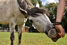Horse, Bridle, Horse Like Mammal, Mane royalty free stock photography
