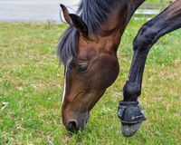 Horse, Bridle, Mane, Halter Royalty Free Stock Photo