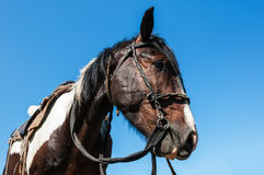 Horse bridle portrait Stock Photos