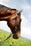 Horse with bridle and reins. Horse head and neck with bridle and reins. Background of green wildflower field and blue cloudy sky at an angle Royalty Free Stock Images