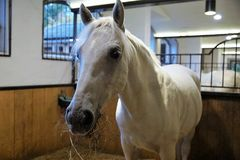 Horse, Bridle, Stallion, Horse Like Mammal royalty free stock images